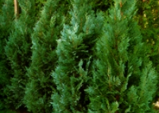 "Thuja Occidentalis ""Columna"""